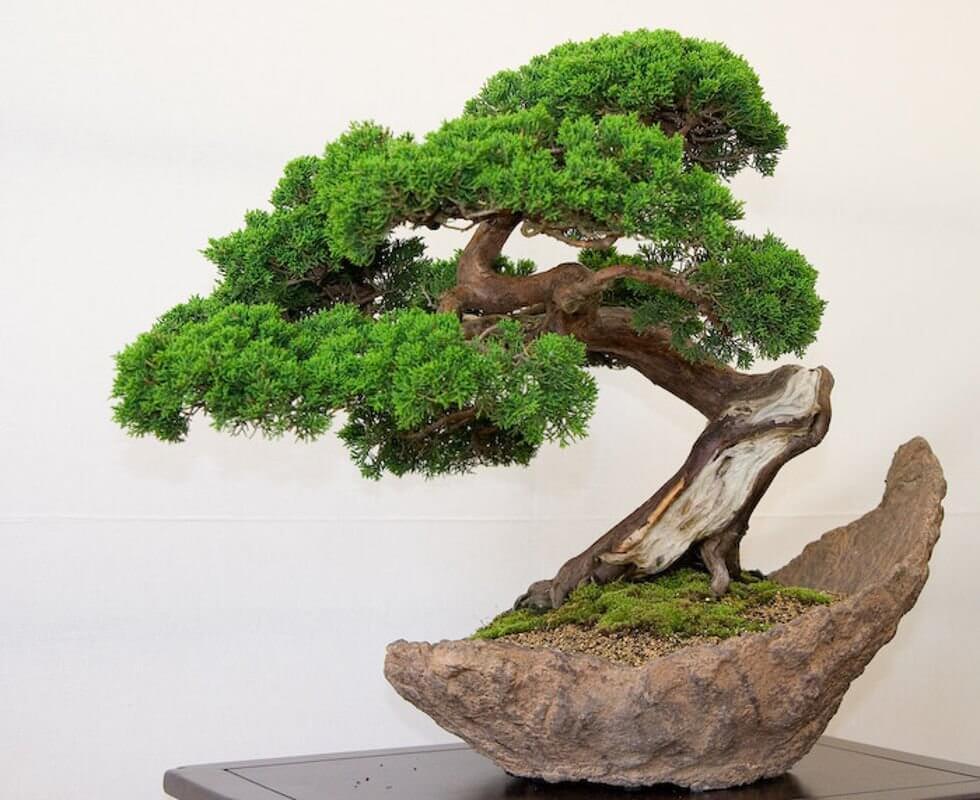 cây Tùng trong phong thủy