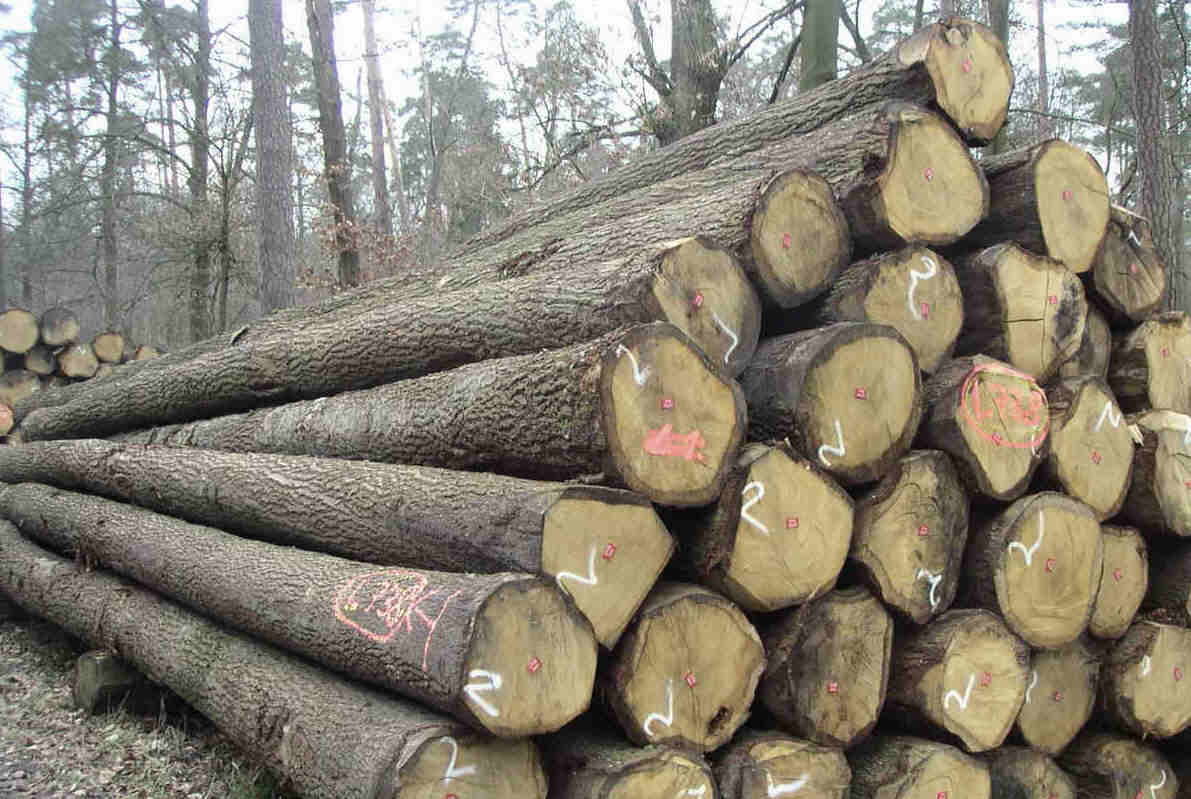 gỗ sồi Nam Mỹ là gì