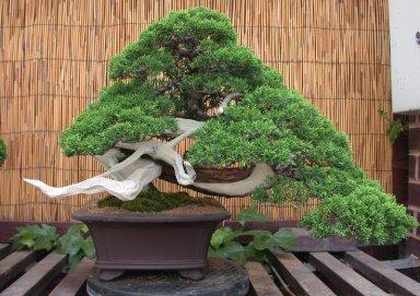 Ý nghĩa của cây Tùng trong phong thủy